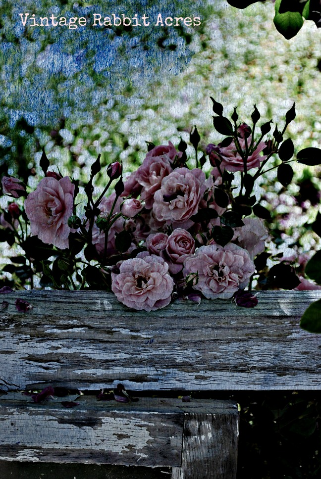 Pink roses on fence April 2012